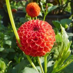 Jiřina 'Pompon Orange' - Dahlia 'Pompon Orange'