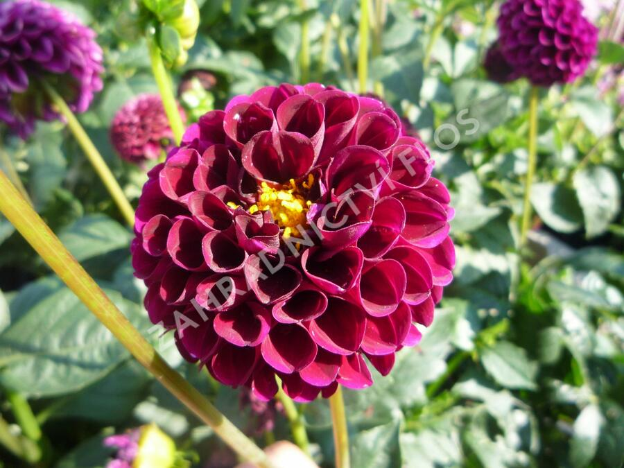 Jiřina 'Pompon Deep Red' - Dahlia 'Pompon Deep Red'