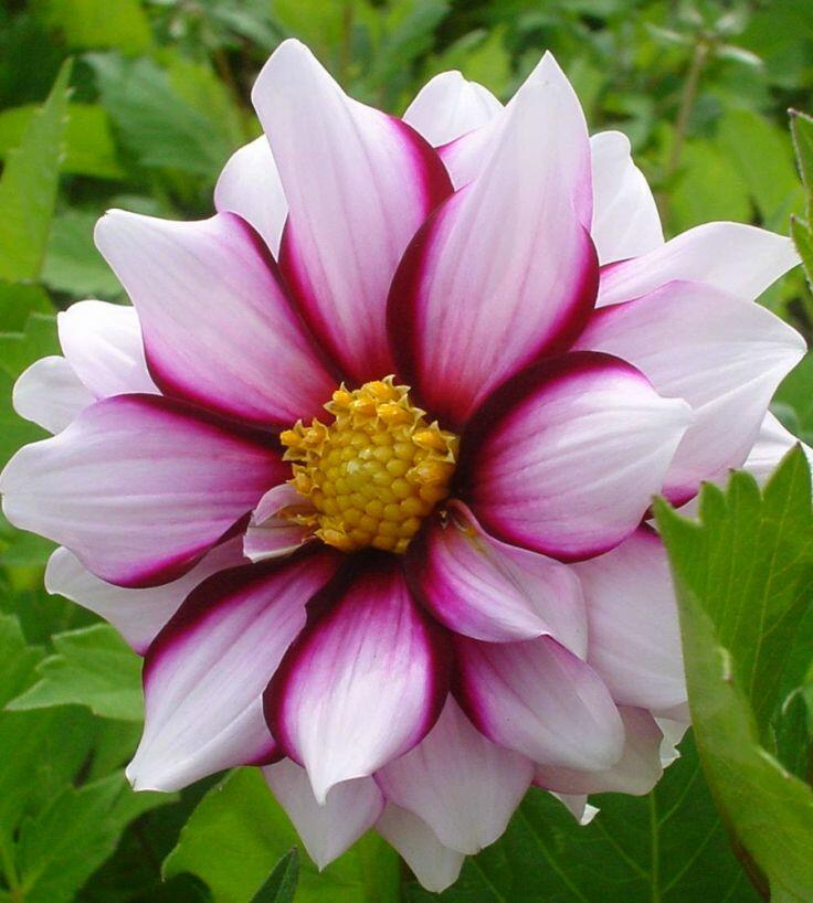 Jiřina 'Mignon Edge of Joy' - Dahlia 'Mignon Edge of Joy'