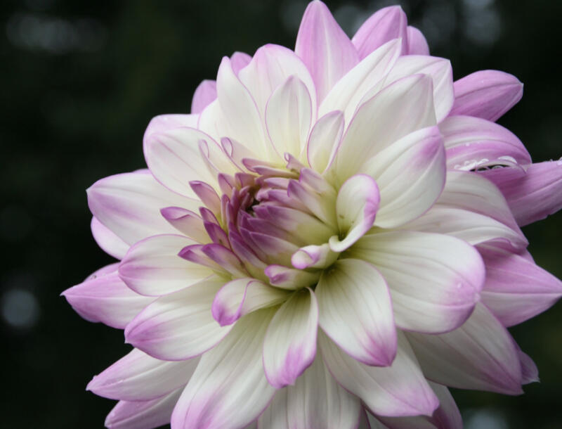 Jiřina 'Decorative Victoria Ann' - Dahlia 'Decorative Victoria Ann'