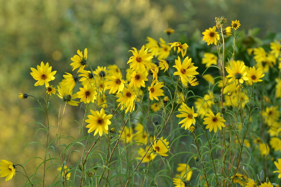 Slunečnice vrbolistá - Helianthus salicifolius