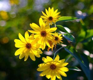 Slunečnice topinambur - Helianthus tuberosus