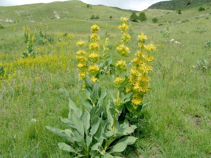 Hořec žlutý - Gentiana lutea
