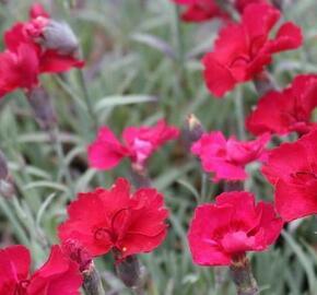 Hvozdík sivý 'Rubin' - Dianthus gratianopolitanus 'Rubin'