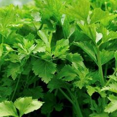 Celer listový 'Jemný' - Apium graveolens 'Jemný'