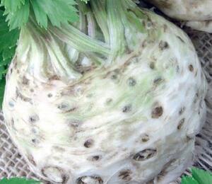 Celer bulvový 'Albin' - Apium graveolens v. rapaceum 'Albin'