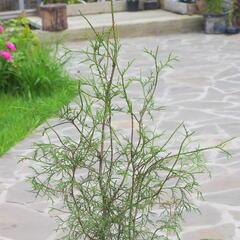 Zerav západní 'Ohlendorfii' - Thuja occidentalis 'Ohlendorfii'