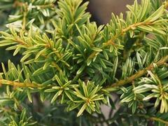 Tis červený 'Luca' - Taxus baccata 'Luca'