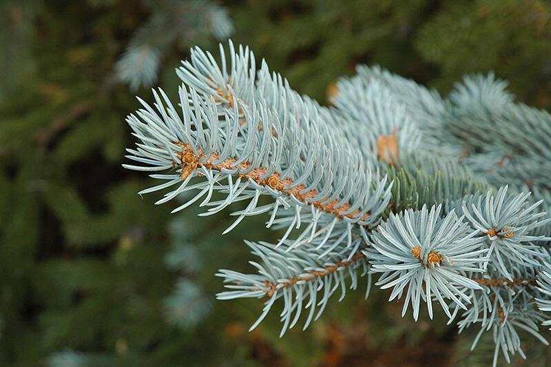 Smrk pichlavý 'Glauca Misty Blue' - Picea pungens 'Glauca Misty Blue'