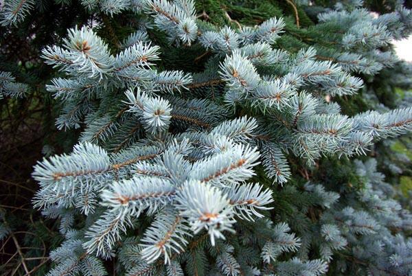 Smrk pichlavý 'Glauca Kaibab' - Picea pungens 'Glauca Kaibab'