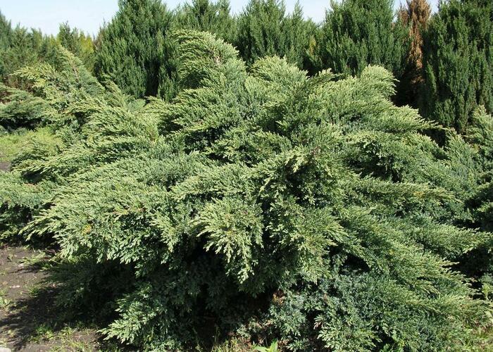 Jalovec virginský 'Hetz' - Juniperus virginiana 'Hetz'