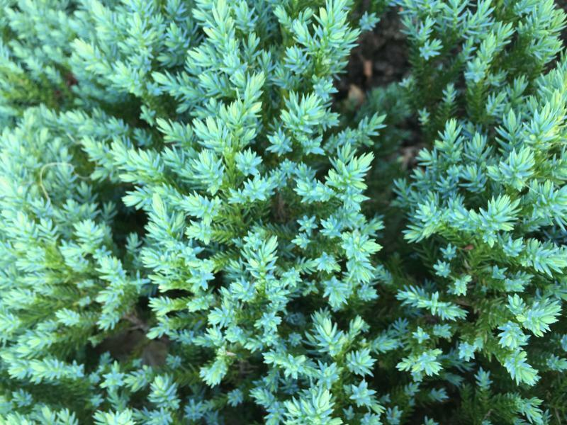 Jalovec šupinatý 'Little Joanna' - Juniperus squamata 'Little Joanna'