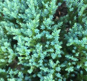 Jalovec šupinatý 'Little Joanna' - Juniperus squamata 'Little Joanna'