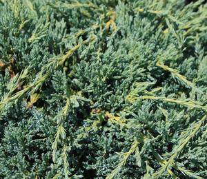 Jalovec šupinatý 'Blue Compact' - Juniperus squamata 'Blue Compact'