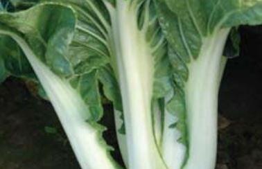 Čínské zelí 'Paket' - Brassica chinensis 'Paket'