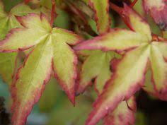 Javor dlanitolistý 'Little Princess' - Acer palmatum 'Little Princess'