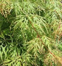 Javor dlanitolistý 'Emerald Lace' - Acer palmatum 'Emerald Lace'