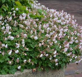 Kakost 'St Ola' - Geranium x cantabrigiense 'St Ola'