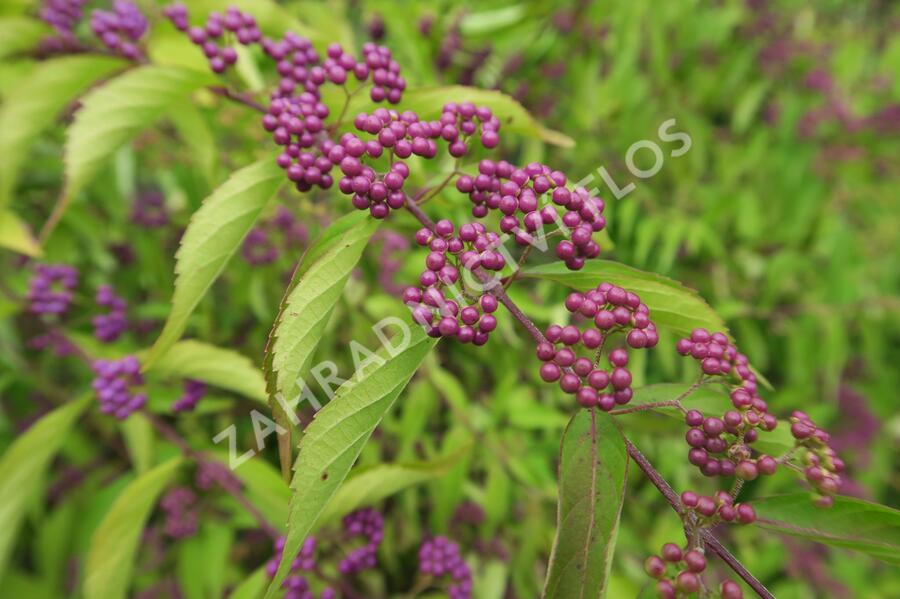 Krásnoplodka vidličnatá - Callicarpa dichotoma