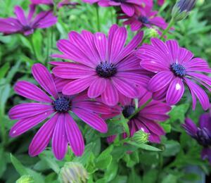 Dvoutvárka ecklonis 'Erato Basket Purple' - Osteospermum ecklonis 'Erato Basket Purple'