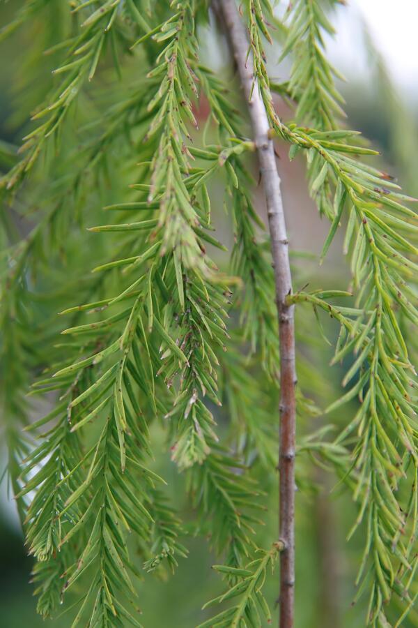 Tisovec dvouřadý 'Cascade Falls' - Taxodium distichum 'Cascade Falls'