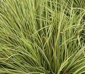 Puškvorec trávolistý 'Argenteostriatus' - Acorus gramineus 'Argenteostriatus'