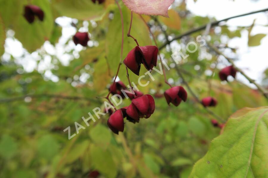 Brslen - Euonymus planipes