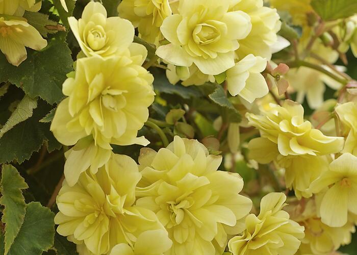 Begónie hlíznatá 'Belina Lemon' - Begonia tuberhybrida 'Belina Lemon'