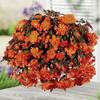 Begónie hlíznatá 'Belina Orange' - Begonia tuberhybrida 'Belina Orange'