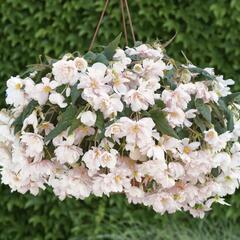Begónie hlíznatá 'Belina Apricot' - Begonia tuberhybrida 'Belina Apricot'
