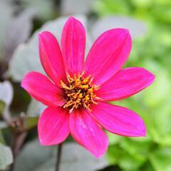 Jiřina 'Happy Days Rose' - Dahlia 'Happy Days Rose'