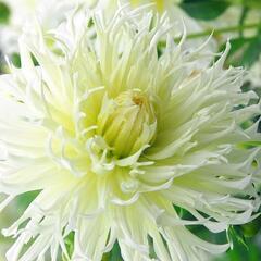 Jiřina 'Cactus Tsuki-Yori-No-Shisha' - Dahlia 'Cactus Tsuki-Yori-No-Shisha'