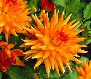 Jiřina 'Cactus Orange Yellow' - Dahlia 'Cactus Orange Yellow'