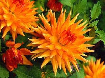 Jiřina 'Cactus Orange Yellow' - Dahlia 'Cactus Orange Yellow'