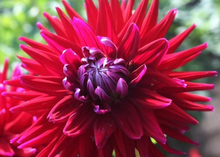 Jiřina 'Cactus Gerry Scot' - Dahlia 'Cactus Gerry Scot'