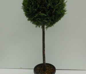 Cypřišovec Leylandův - Cupressocyparis leylandii - 1 koule na kmínku