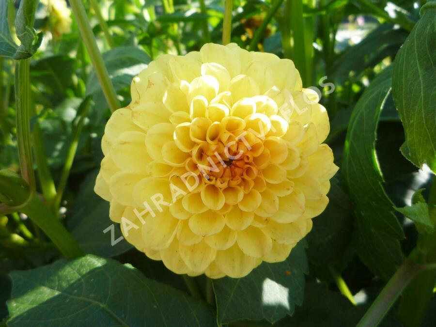 Jiřina 'Pompon Yellow' - Dahlia 'Pompon Yellow'