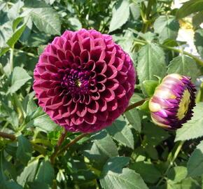 Jiřina 'Ball Purple' - Dahlia 'Ball Purple'