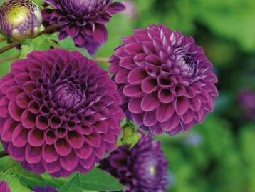Jiřina 'Ball Purple' - Dahlia 'Ball Purple'