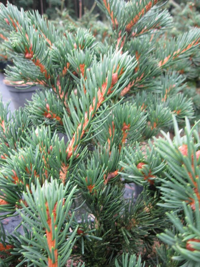 Smrk ztepilý 'Lombarts' - Picea abies 'Lombarts'