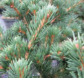 Smrk ztepilý 'Lombarts' - Picea abies 'Lombarts'