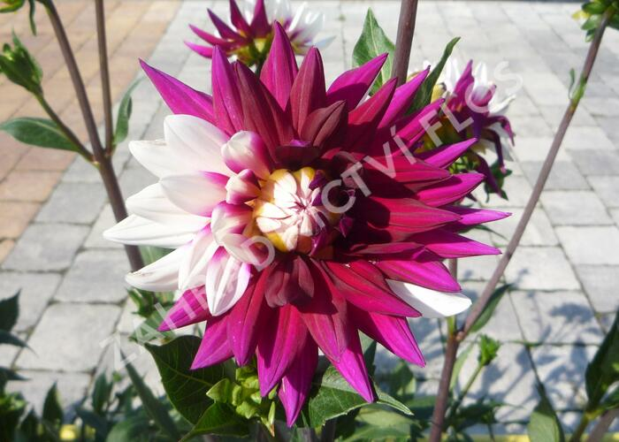Jiřina 'Decorative Rebecca's World' - Dahlia 'Decorative Rebecca's World'