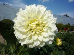 Jiřina 'Decorative Olesna White' - Dahlia 'Decorative Olesna White'
