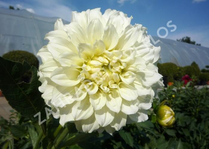 Jiřina 'Decorative Olesna White' - Dahlia 'Decorative Olesna White'