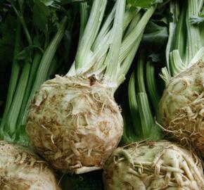 Celer bulvový 'Monet' - Apium graveolens v. rapaceum 'Monet'