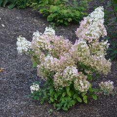 Hortenzie latnatá 'Diamantino' - Hydrangea paniculata 'Diamantino'