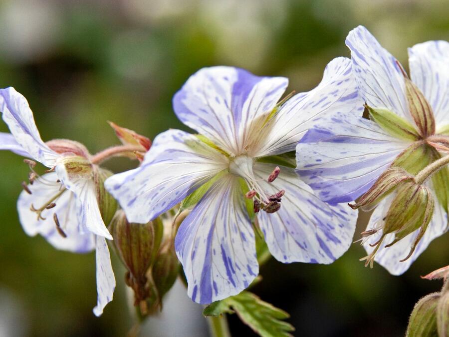 Kakost luční 'Striatum' - Geranium pratense 'Striatum'