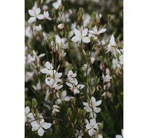 Svíčkovec 'Short Form White' - Gaura lindheimeri 'Short Form White'