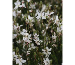 Svíčkovec 'Short Form White' - Gaura lindheimeri 'Short Form White'