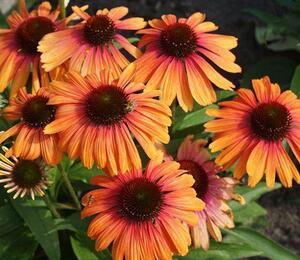 Třapatka nachová 'Rainbow Marcella' - Echinacea purpurea 'Rainbow Marcella'
